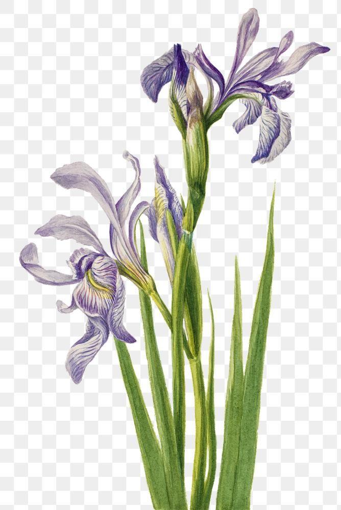 Download Premium Png Of Rocky Mountain Iris Flower Png Botanical Iris Flowers Botanical Flowers Botanical Illustration