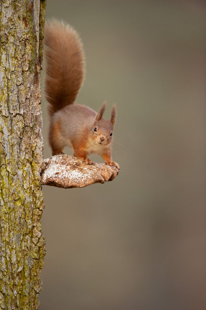 Check out the precarious fungi the red squirrel is standing on in today's #RSPB Monday Moment. Photo by Andrew Parkinson (rspb-images.com)