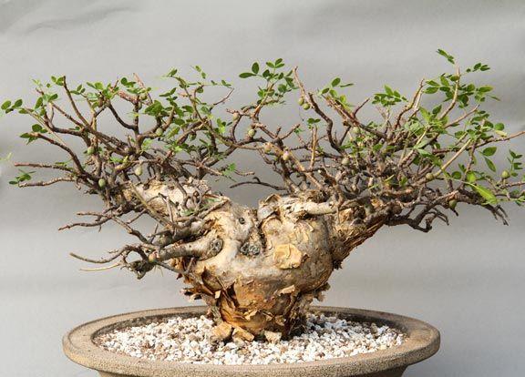 Rare Succulents Bursera fagaroides