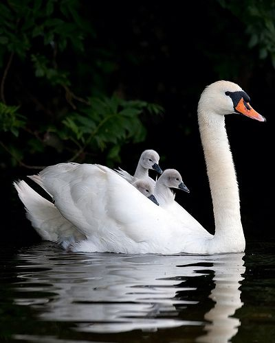 swan with cygnets, swan mom