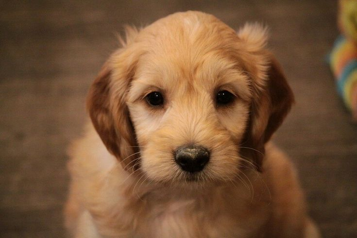 Videos Of Playing Puppies Previous Litters In 2020 Puppies Puppies For Sale Golden Retriever