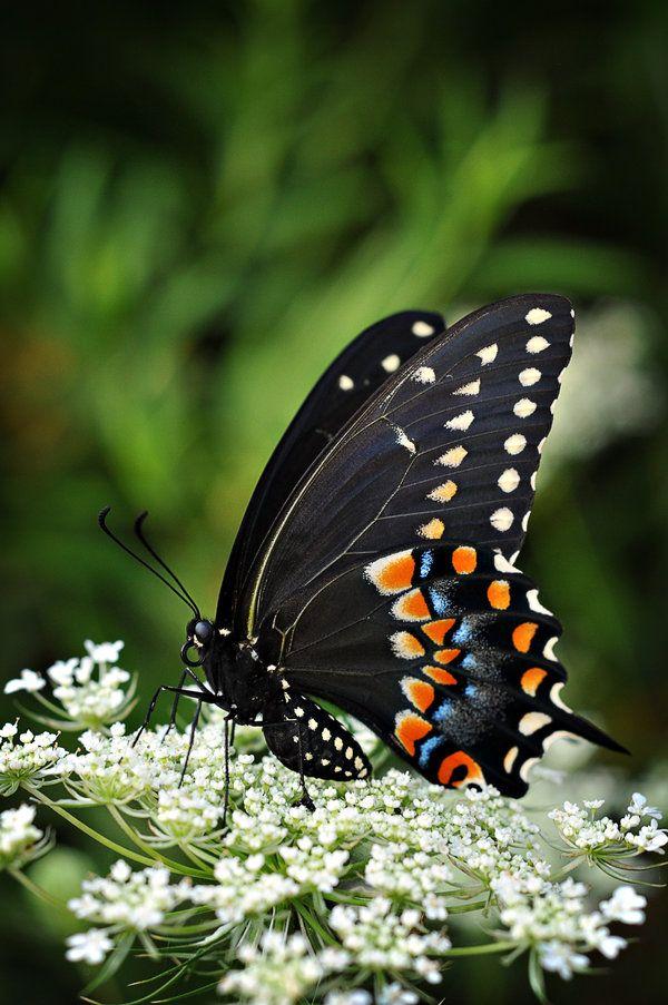 preciosa mariposa negra