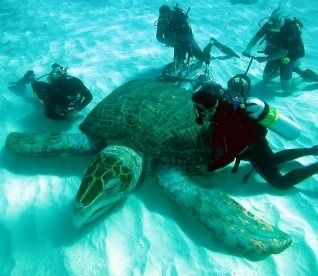 Giant Sea Turtle, also called a Leatherback, is the largest of all living turtles. It can easily be differentiated from other modern sea turtles by its lack of a bony shell