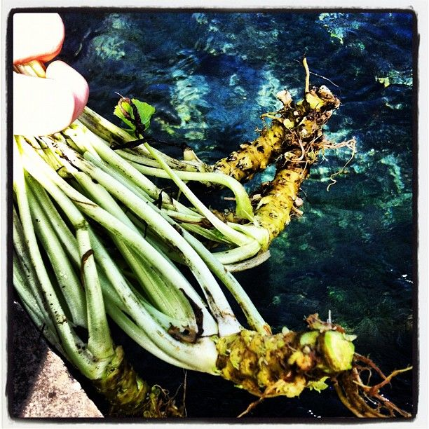 Fresh harvest of wasabi root. 5 Sep 2012