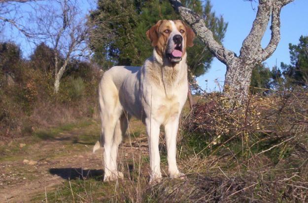Cão de Gado Transmontano | Origin: Portugal