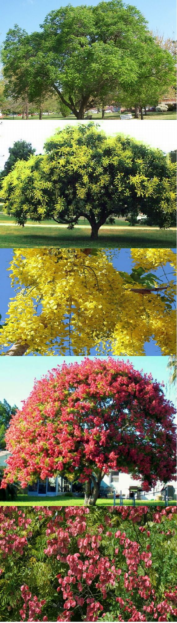 "Golden Rain Tree (Koelreuteria Paniculata) - Zone 5-9b Full Sun. 30' Height/Width. Beautiful, deciduous tree that provides lots of shade in summer and beautiful fall colors in Autumn.Great small shade tree in areas like: near utility lines & along streets. Fast growth (13"" to 24""+ per year & 50 yr life span). Average water needs & any well-drained soil. Tolerates drought, heat, wind, air pollution & some salt spray. Propagate by cuttings, self-seeds prolifically-Don't transplant in fall."