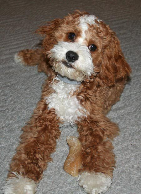 Cody the Cockalier Poodle | Puppies | Daily Puppy