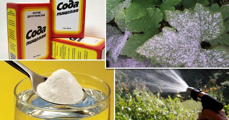 А вы знали, что обычная пищевая сода поможет уберечь урожай от болезней и вредителей?