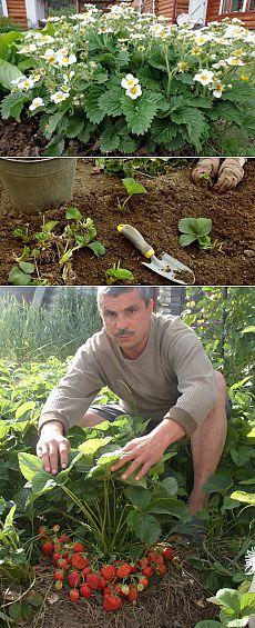 Выращивание ремонтантной клубники – посадка и уход за ней