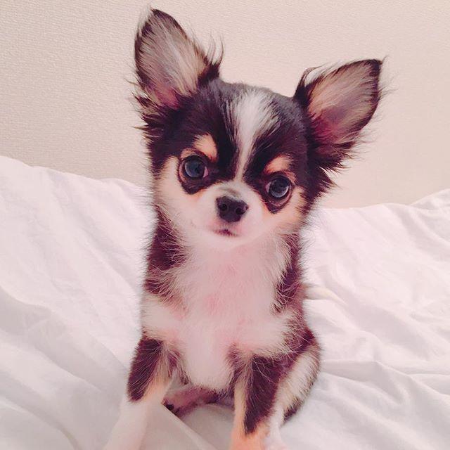 お風呂上がりふわふわティアラたん🐶💭💕 . . #チワワ#chihuahua#ブラックタンホワイト#ロンチー#ろんちー#チワワバカ#チワワラブ#チワワ部#チワワ大好き#チワワパピー#チワワ大好き部#パピー#わんちゃん#愛犬#愛犬love#犬#犬バカ部#犬バカ#赤ちゃん犬#赤ちゃんチワワ#うちのティアラたん#我が子#dog#love#lovedog#犬好きと繋がりたい#チワワ好きな人と繋がりたい#ブラックタンアンドホワイト#短足犬#一人暮らし