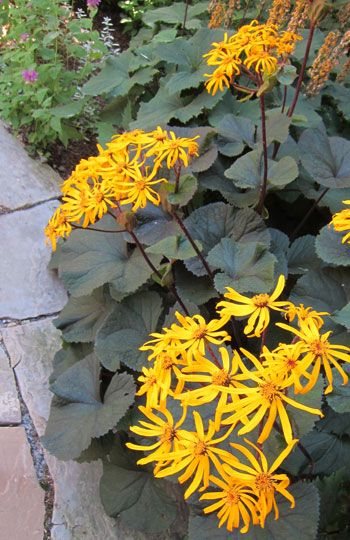 Shade Perennial - Ligularia 'Othello' Works in part sun too.