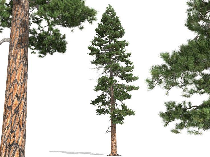 43 melhores imagens sobre tattoo no pinterest ferdinand for Ponderosa pine tattoo