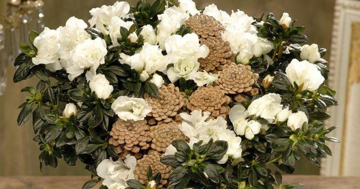 BLOMSTER: friske blomster hører julen til. Her er Azalea, en blomst som i følge eksperten passer perfekt til julen.