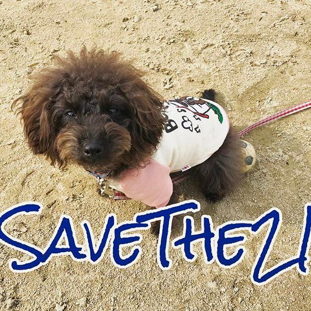 . * カナダのモントリオールでピットブル系の犬の殺処分の対する立法がなされたとのこと。 #savethe21 のタグで抗議することができると知ったので参加します。 * いわゆる危険犬種と言われる犬種(ピットブル、スタッフォードシャーブルテリア、土佐犬、狼犬ミックスなど)は、飼育禁止になっている国もあり、それは彼ら犬種特有の闘争心を素人では扱いきれないとされているから。しかし、各国のケネルクラブの見解は、犬をよく知る人間とであれば「彼らはより忠実で、よりパフォーマンスの高い犬に成長する」と言われています。要は人間次第なのだと。 * 今回モントリオールでは、すでに飼育環境化にあるピットブル系の犬には「屋外での口輪」「短いリード」「登録料」などの義務が制定。シェルターの犬たちは殺処分から逃れるために、モントリオール外に出されました(恐らく)。これはピットブルでなくてもピットブルに似ていれば対象となり、決まりを一つでも破れば殺処分という恐ろしい法律です。この曖昧で恐ろしい決まりは、犬に対する脅し以外のなにものでもありません。…