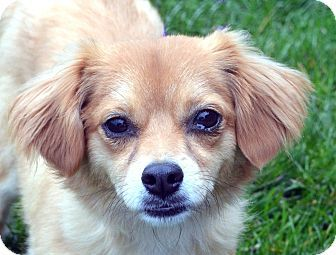 Pictures of Shasta a Chihuahua for adoption in Bridgeton, MO who needs a loving home.