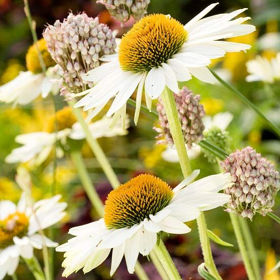 With extra-large flowers, Fragrant Angel is a beautiful coneflower: http://www.bhg.com/gardening/flowers/perennials/coneflower-types/?socsrc=bhgpin071514fragrantangel&page=2