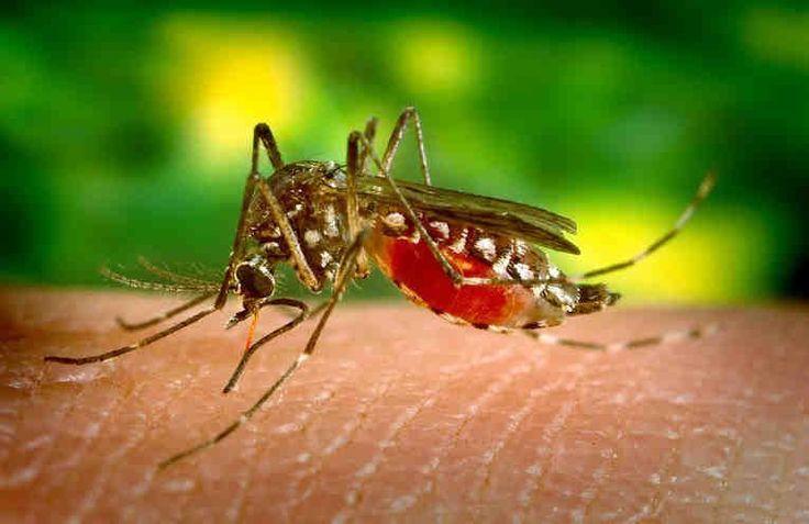 Gracias a ingredientes como el eucalipto, los cítricos o el incienso podemos repeler los insectos de manera natural y sin poner en peligro nuestra salud.  Os ofrecemos 3 tips para eliminar los mosquitos en casa.      El primero: Limón y eucalipto  Ingredientes: + un puñadito de hojas de e
