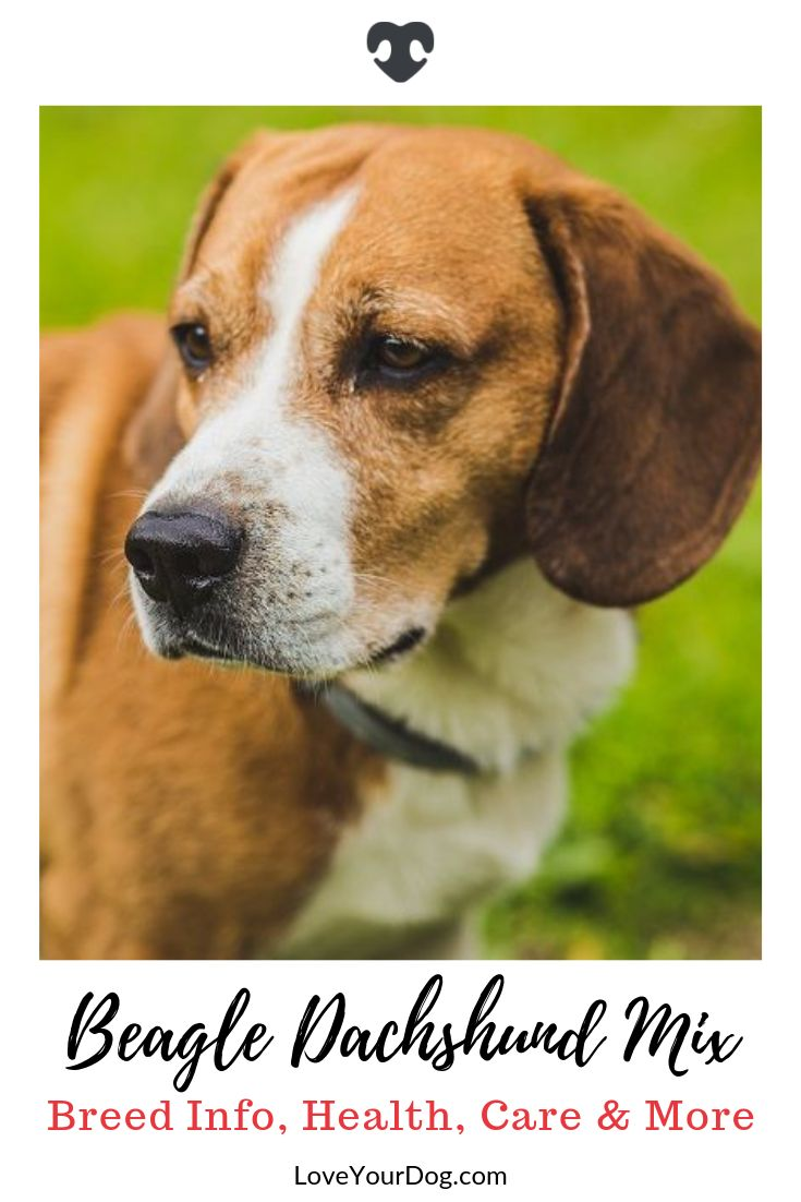Beagle dachshund mix doxle breed info facts puppy costs
