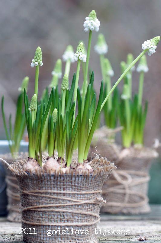 Witte Druifjes - bloembollen - lente - Muscari