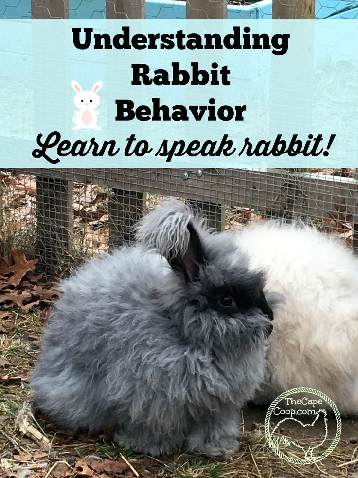 Rabbits are generally thought of as very quiet and calm animals but if you pay attention you will hear your rabbit loud & clear!