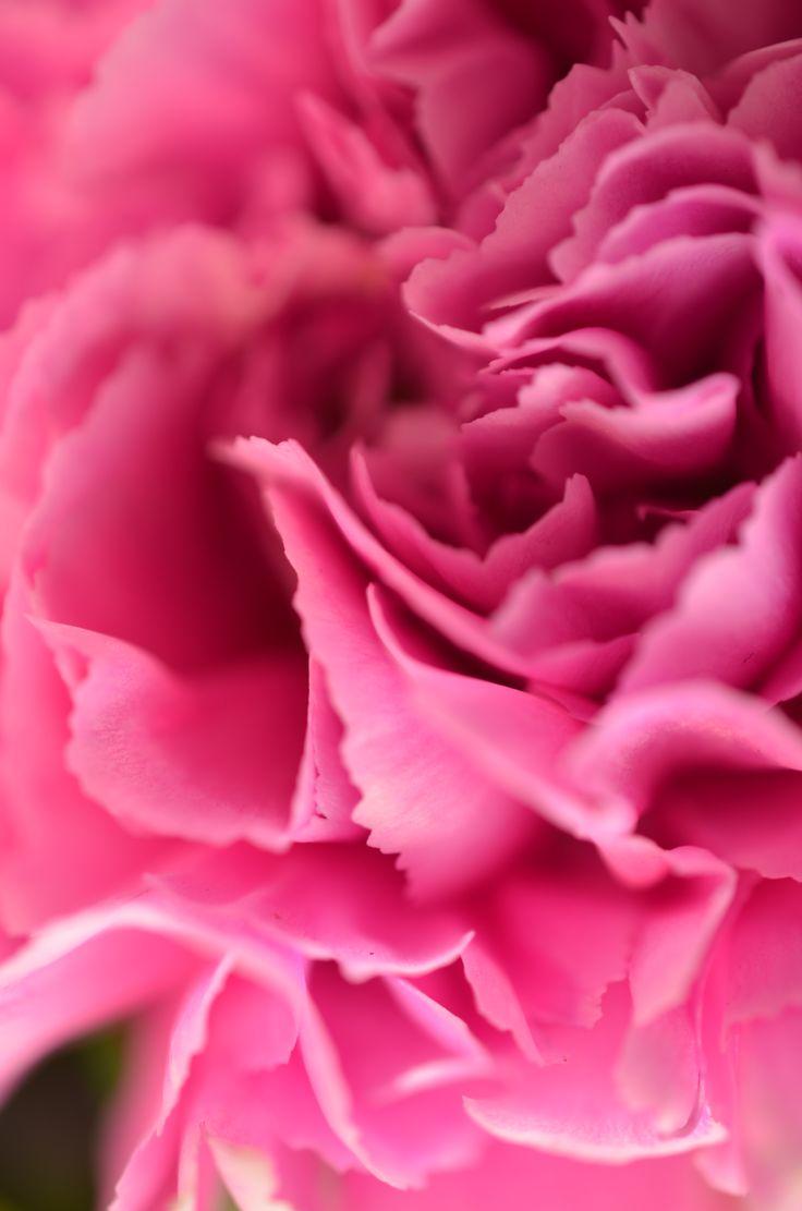 die besten 17 ideen zu rosa nelken auf pinterest nelke hochzeit blumen und blumenarrangements. Black Bedroom Furniture Sets. Home Design Ideas