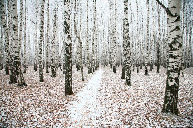 Первый снег в березовой роще - Красивые осенние фотографии