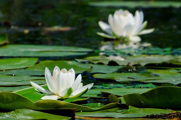 White Water Lily. Nufar Alb