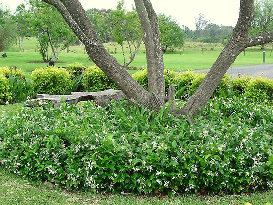 star jasmine as a ground cover--this is how I remember it from when I was a little girl in California