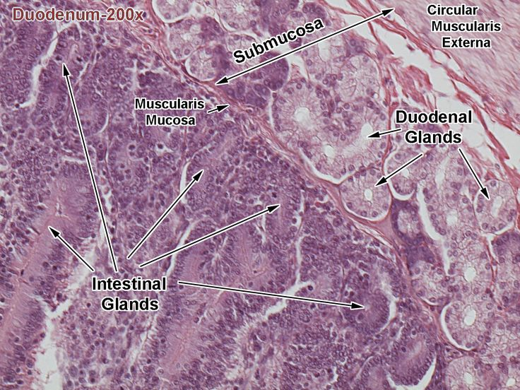 Histology - Small Intestine - Duodenum - Mucosa and ...