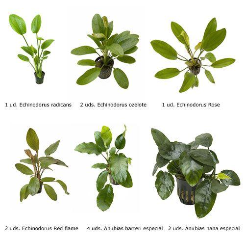 Algumas espécies de plantas da família das anúbias sendo comparadas com outras da família das echinodorus em um quadro interessante. Plantas aquáticas para aquários plantados.