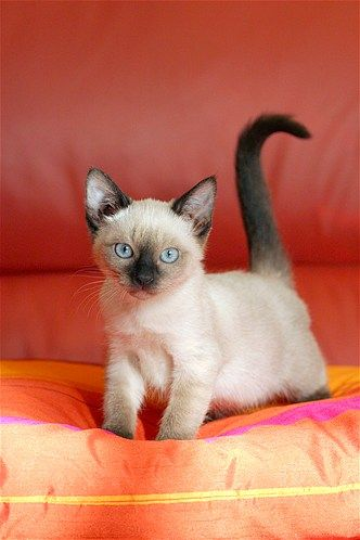 The Tonkanese cat: a cross between Siamese and Burmese breeds, this cutie is distinguished by its oval-shaped paws and large ears. I want one.