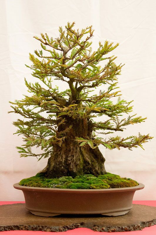 Bonsai Versions of the Worlds Tallest Tree