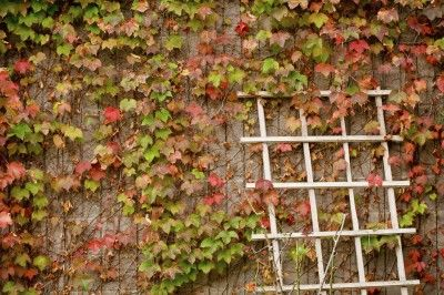 Ivy Plants Near Walls – Is Boston Ivy Growing Up Brick Surfaces Ok