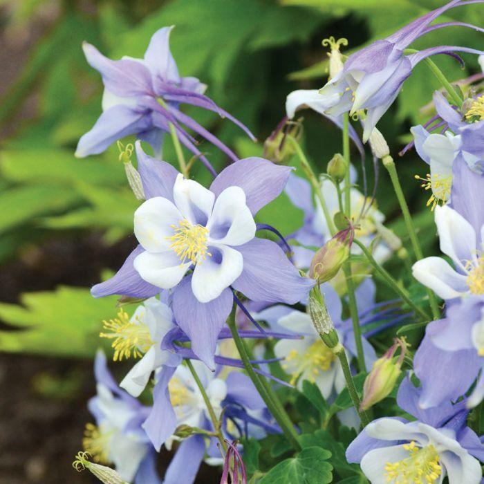 Pin On Spring Bulbs Perennials
