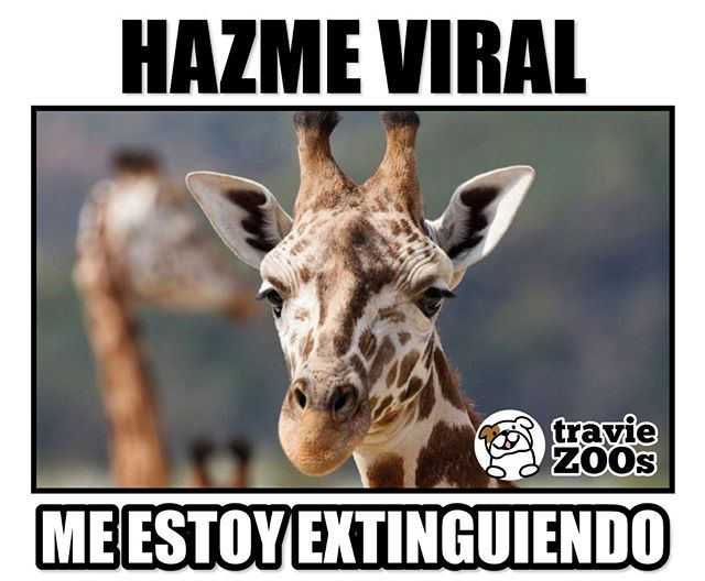 """We are losing them! Giraffes are in danger of extinction due to illegal hunting and hunting, and we are destroying their natural habitat """"Giraffes # …"""