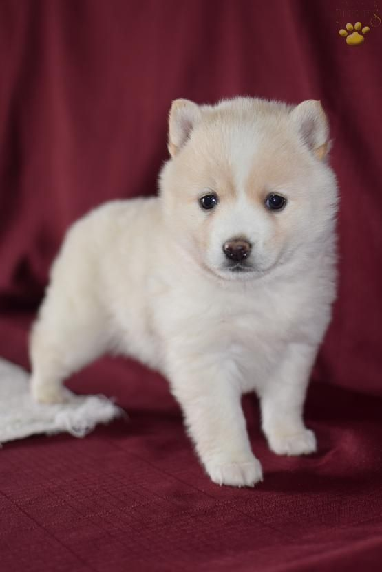 Harper - Pomsky Puppy for Sale in Middlebury, IN | Lancaster Puppies