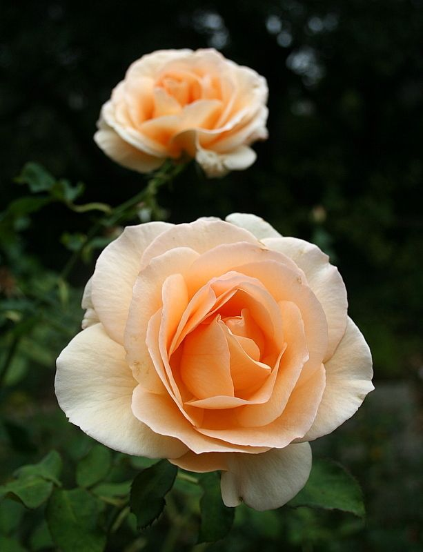 rose apricot nectar - Google Search