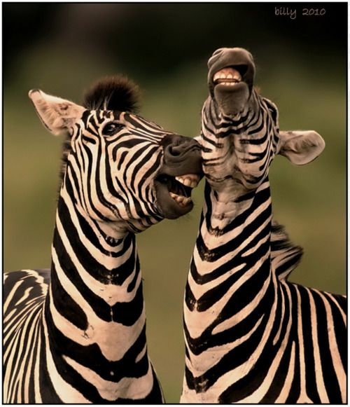 Hilarious....: Except, Animal Kingdom, Jokes, Creature, Happy, Laughing Zebras, Smile, So Funny, The One