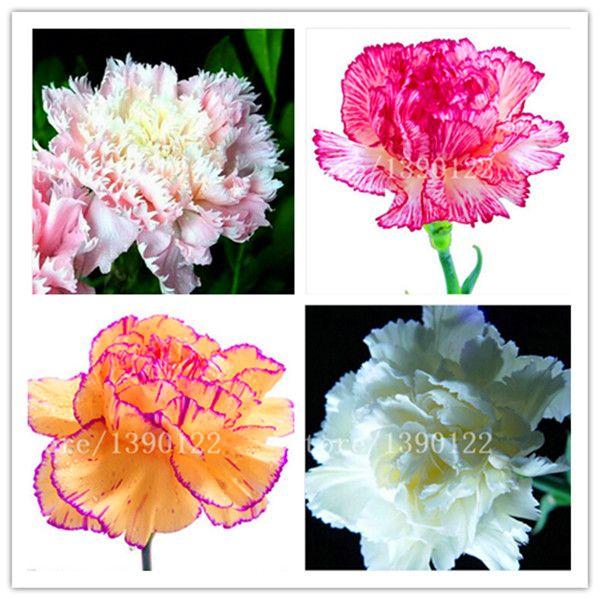 200 pcs Carnation Seeds Bonsai Dianthus caryophyllus Flowers Seeds Semillas potted rare mother love flower for flower pot plant