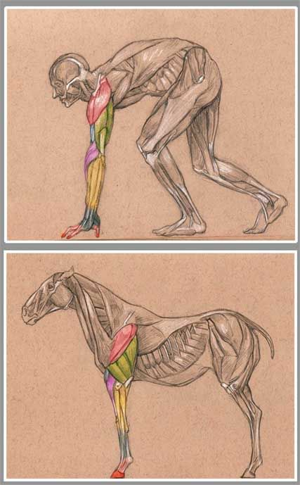 Very cool comparative picture between front limb muscles in a horse and human arm muscles. It would be cooler if the muscles were labeled though.