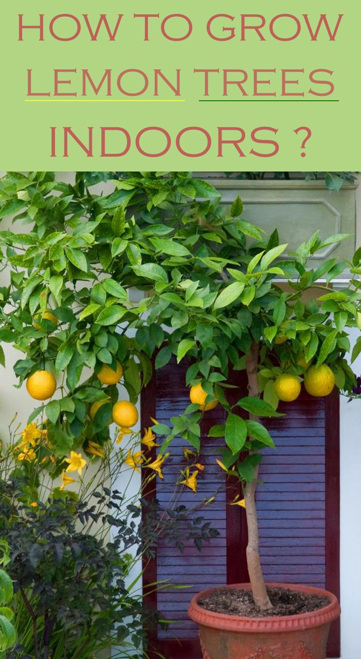 Grow your own citrus and take advantages of lemons benefits.