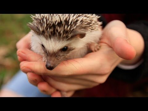 OWNING A PET HEDGEHOG: FACT VS MYTH