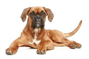 female Boxer dog