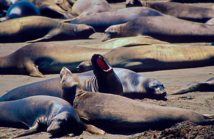 Photographer Pernille Westh | A colony of elephant seals. Joyful marine life · Get my 7 FREE basic photography tips - you need to know! http://pw5383.wixsite.com/free-photo-tips