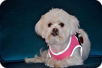 shih tzu rescue va 17 best ideas about shih tzu mix on pinterest maltese 9723
