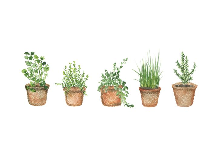 miniature herb pots. Hand painted watercolour illustration