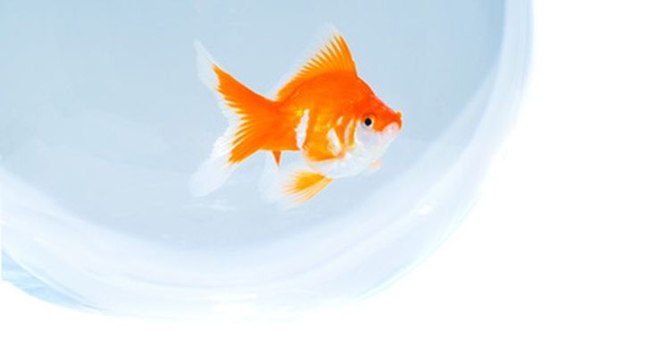 Como lograr que los peces sobrevivan en una pecera de vidrio. Una pecera de vidrio es una alternativa a un tanque de peces, si el espacio es limitado, pero lo mejor es comprar la pecera más grande que puedas pagar o acomodar para la comodidad de los peces. Las peceras pequeñas requieren cuidados más frecuentes. Esto se debe a que los desechos de los peces y la comida en descomposición alcanzan niveles ...