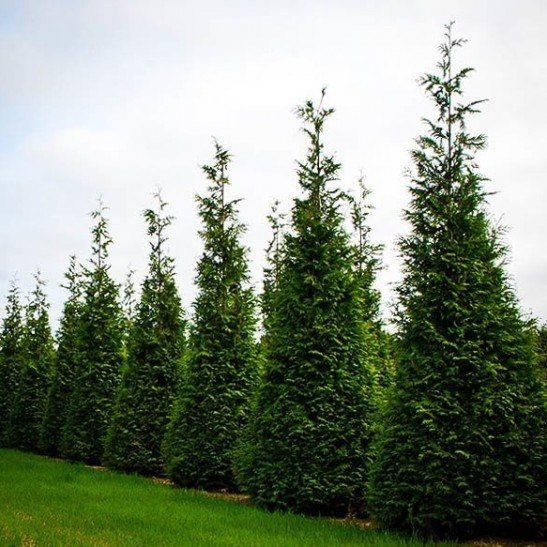 Thuja green giant privacy screen privacy trees for Green giant arborvitae