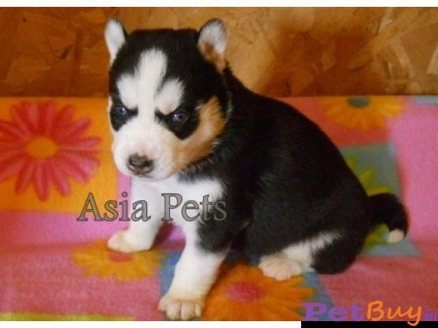 Siberian Husky Puppy For Sale In Thiruvanthapuram Best Price In 2020 Husky Puppies For Sale Husky Puppy Siberian Husky Puppy