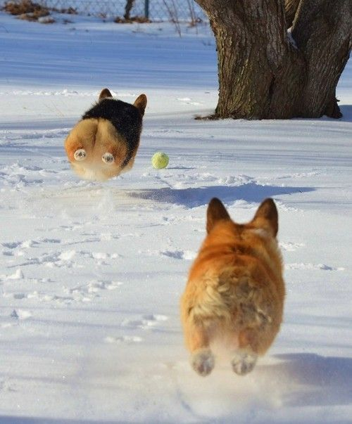 Flying Corgis (via Nancy Cowan)